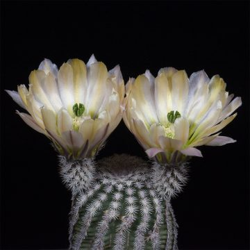 Zeitraffer Echinocereus pectinatus, Detras (Video)