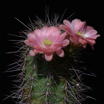 Echinocereus xroetteri, USA, New Mexico, Otero County (Video)