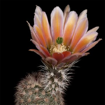 Zeitraffer Echinocereus xlloydii, USA, Texas, Pecos Co. (Video)
