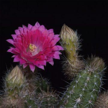 Zeitraffer Echinocereus scheeri, Mexico, Chihuahua, Samachic - Creel (Video)