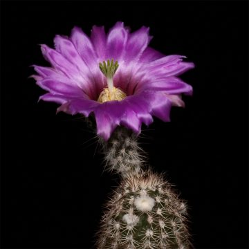 Zeitraffer Echinocereus chisoensis, USA, Texas, Brewster County (Video)