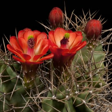 Zeitraffer Echinocereus triglochidiatus fa. gonacanthus, USA (Video)
