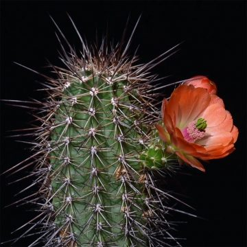 Echinocereus xroetteri, USA, New Mexico, Otero County (Video)