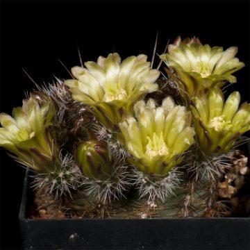 Zeitraffer Echinocereus viridiflorus, USA, New Mexico, Santa Fe County (Video)