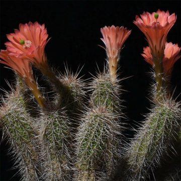 Echinocereus sanpedroensis, Mexico, Sonora (Video)