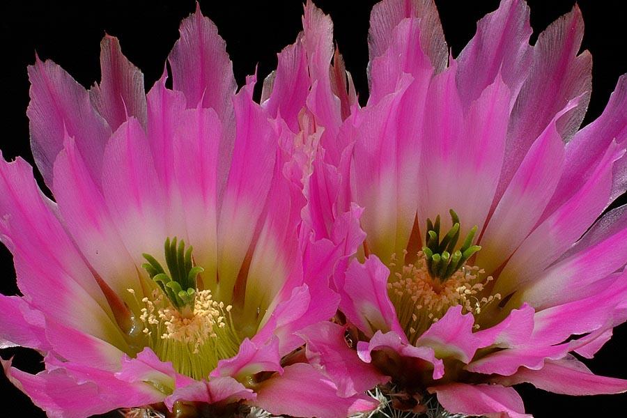 Echinocereus pectinatus, Mexico, Durango, Nieves – Rodeo