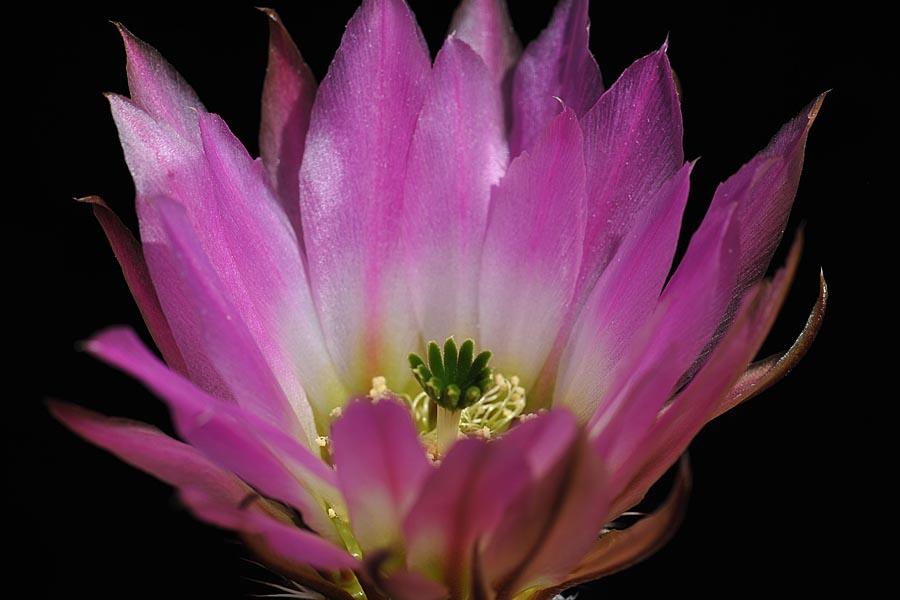 Echinocereus pectinatus, Mexico, San Luis Potosi, San Luis Potosi – Zacatecas