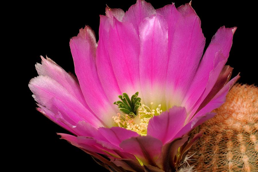 Echinocereus pectinatus, Mexico, Coahuila, La Cuesta