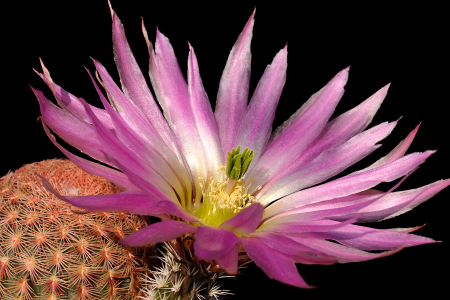 Echinocereus pectinatus, Mexico, Zacatecas, Real