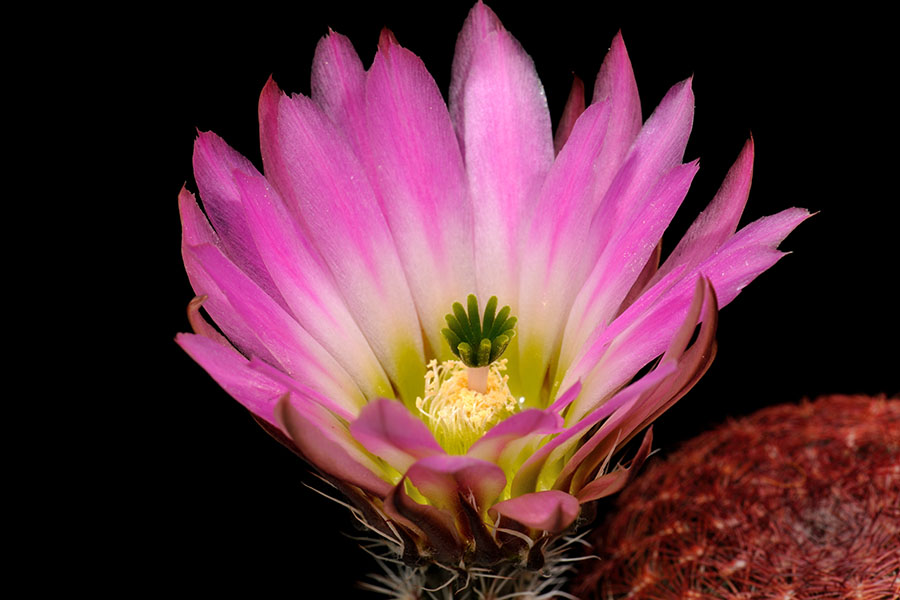 Echinocereus pectinatus, Mexico, Zacatecas, La Pendencia