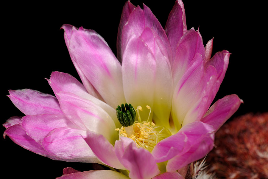 Echinocereus pectinatus, Mexico, Durango, Nieves – Rodeo