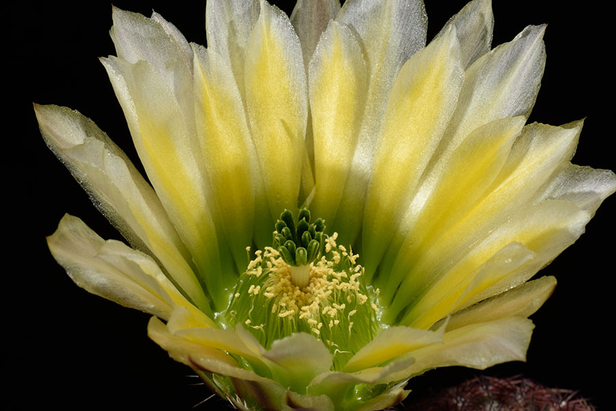 Echinocereus pectinatus, USA, Texas, Maxwell
