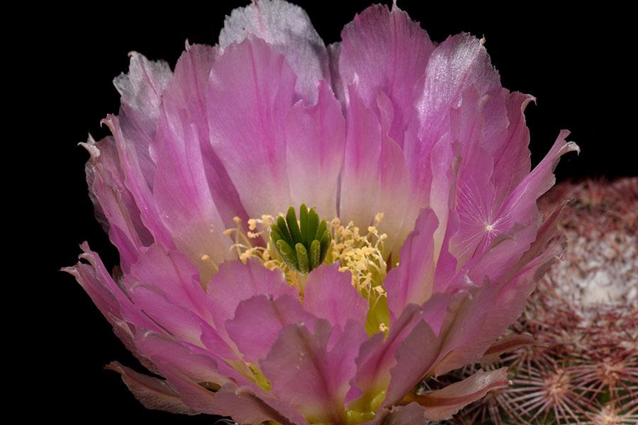 Echinocereus pectinatus, Mexico, San Luis Potosi, Santo Domingo