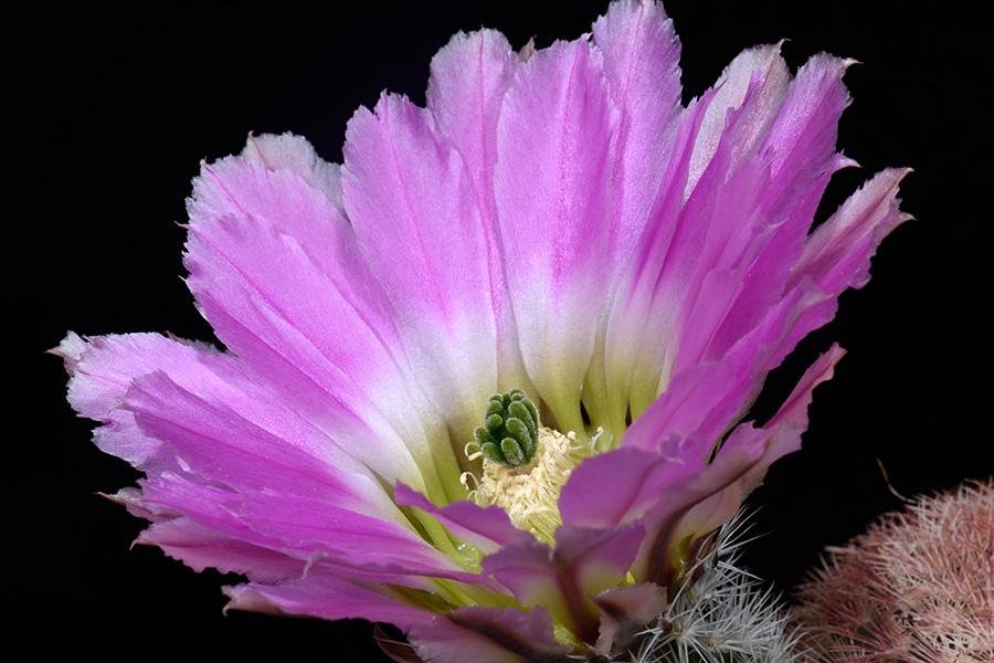 Echinocereus pectinatus, Mexico, Coahuila, Cuatrocienegas