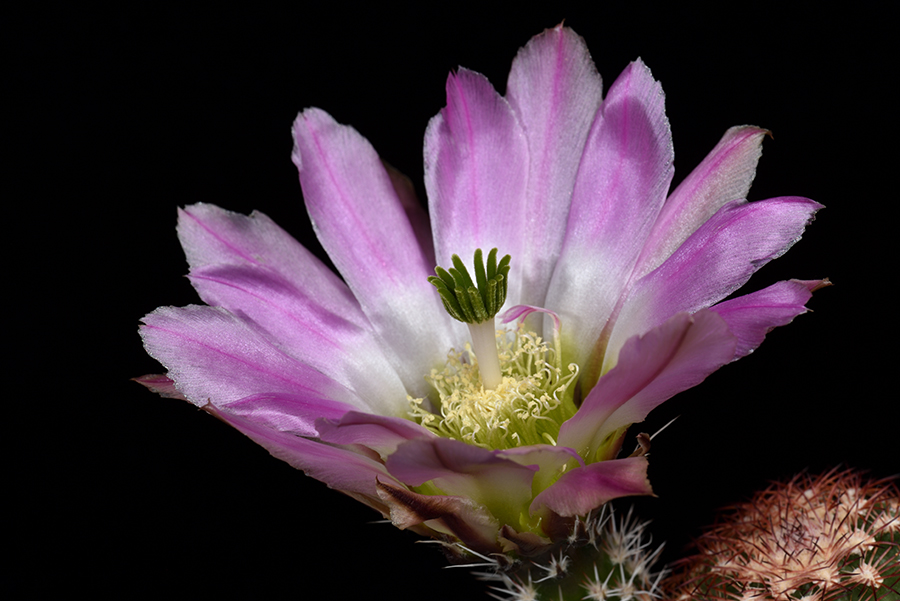 Echinocereus pectinatus, Mexico, Coahuila, Altamira