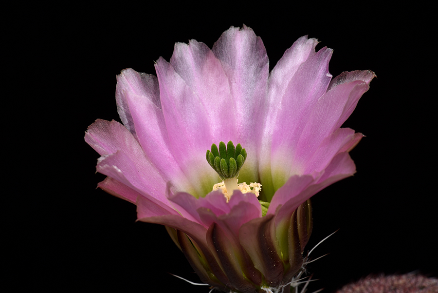 Echinocereus pectinatus, Mexico, Chihuahua, Hidalgo del Parral – Jiminez