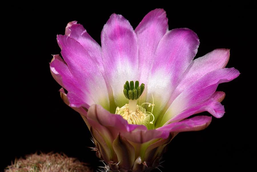 Echinocereus pectinatus, Mexico, Coahuila, La Pena