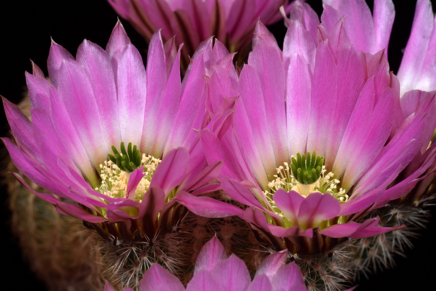 Echinocereus pectinatus, Mexico, Zacatecas, Salinas