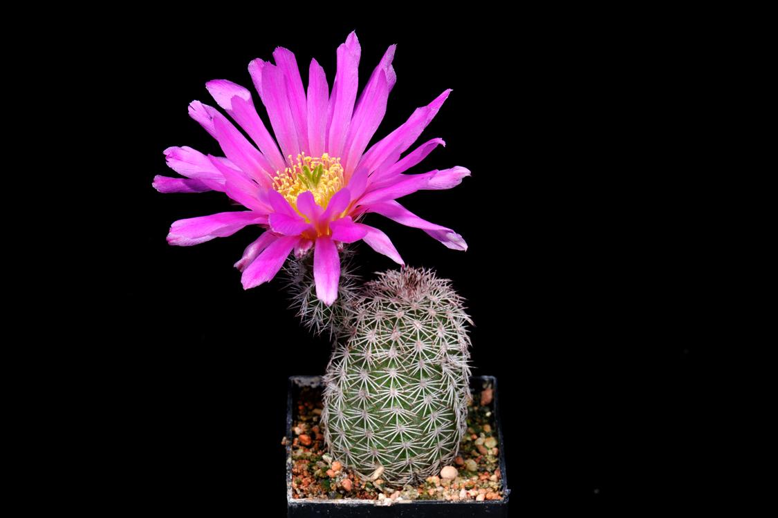 Echinocereus scopulorum subsp. pseudopectinatus, Mexico, Sonora, Moctezuma