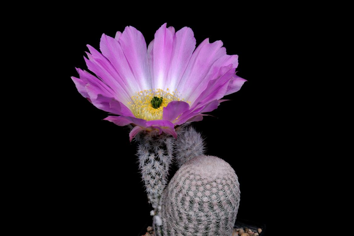 Echinocereus primolanatus, Mexico, Coahuila, Cuatrocienegas