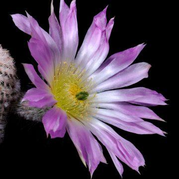 Echinocereus primolanatus, Mexico, Coahuila, Hipolito