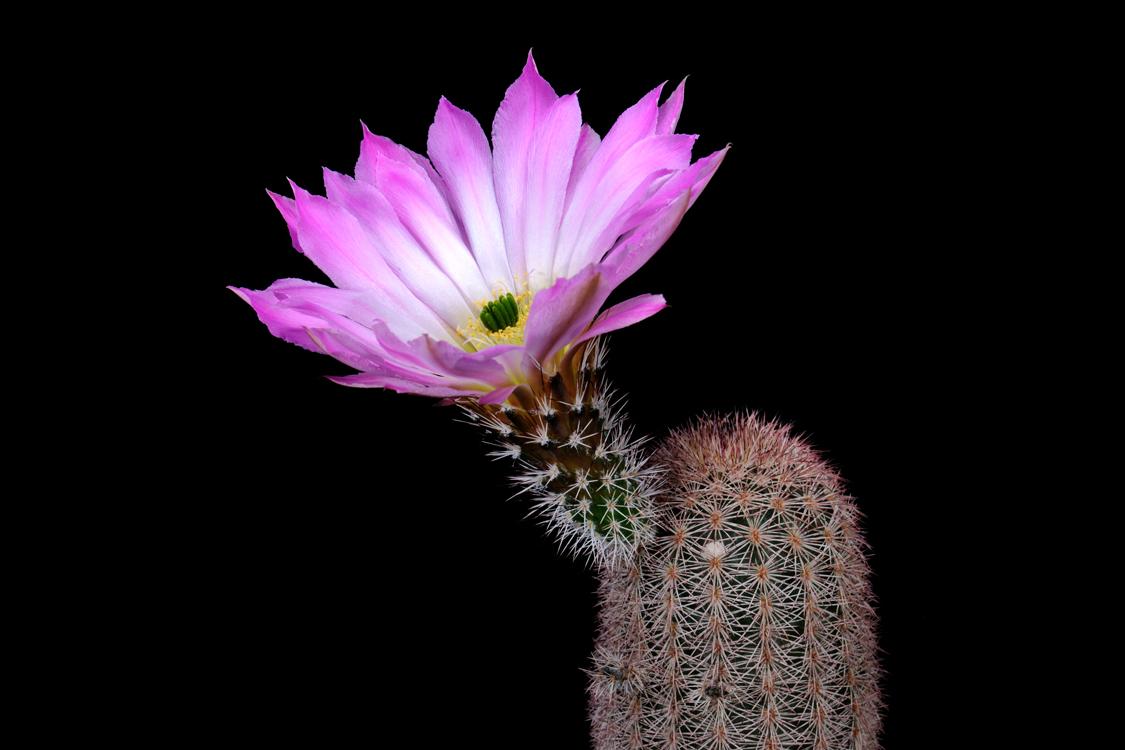 Echinocereus scopulorum, Mexico, Sonora, San Carlos