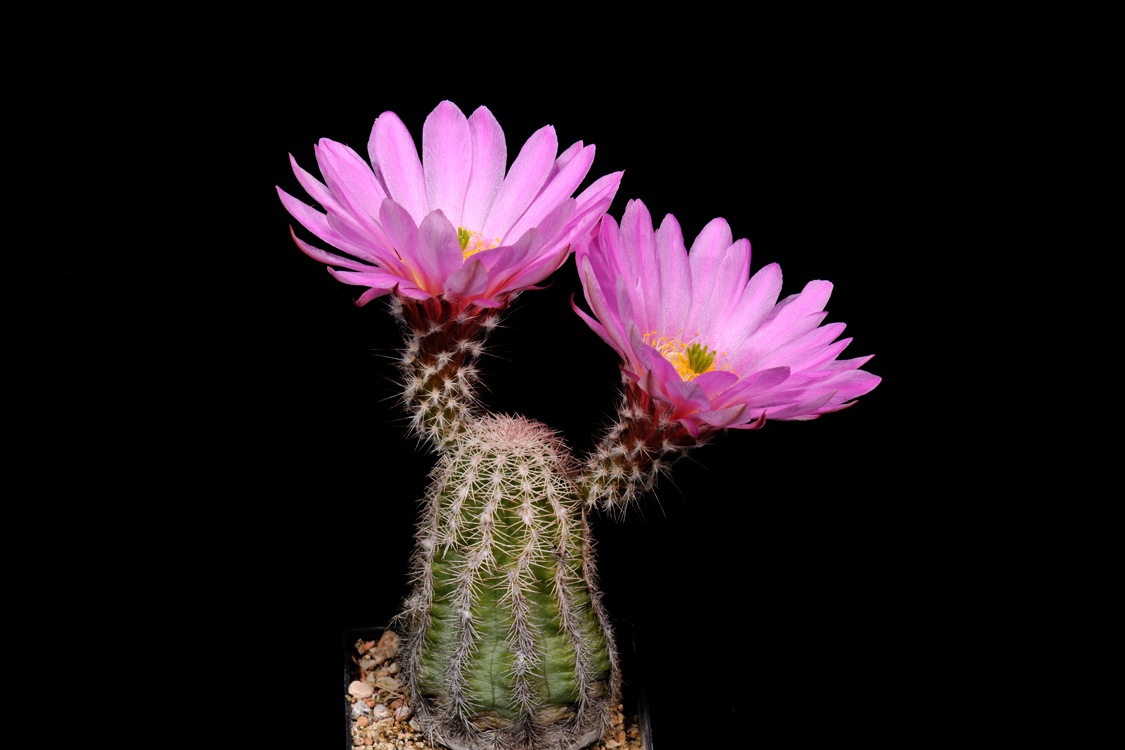 Echinocereus metornii, Mexico, Coahuila, Sierra Mojada
