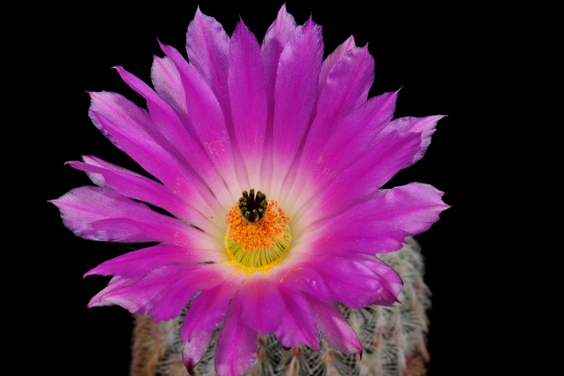 Echinocereus rigidissimus, Mexico, Sonora, Rosario
