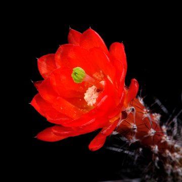 Echinocereus polyacanthus, Mexico, San Luis Potosi, 30 Km nördlich San Luis Potosi