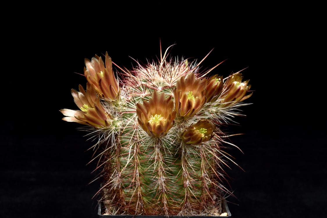 Echinocereus chloranthus, Mexico, Chihuahua, El Sueco