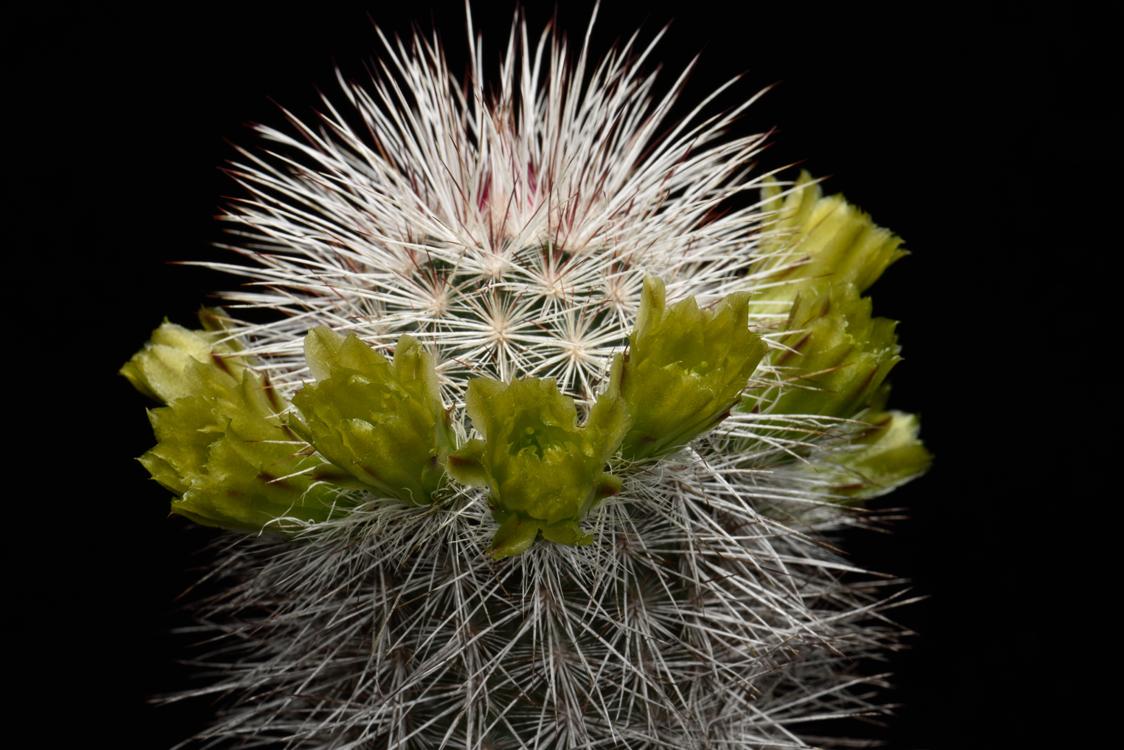 Echinocereus canus, USA, Texas, Solitario
