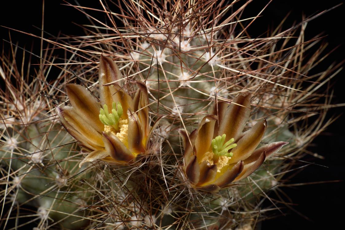 Echinocereus mapimiensis, Mexico, Coahuila, Zona del Silencio