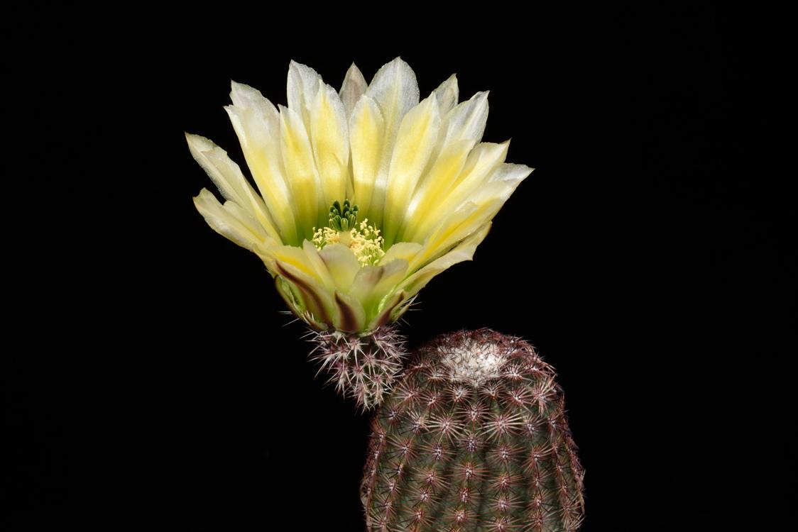 Echinocereus pectinatus, USA, Texas, Brewster Co.
