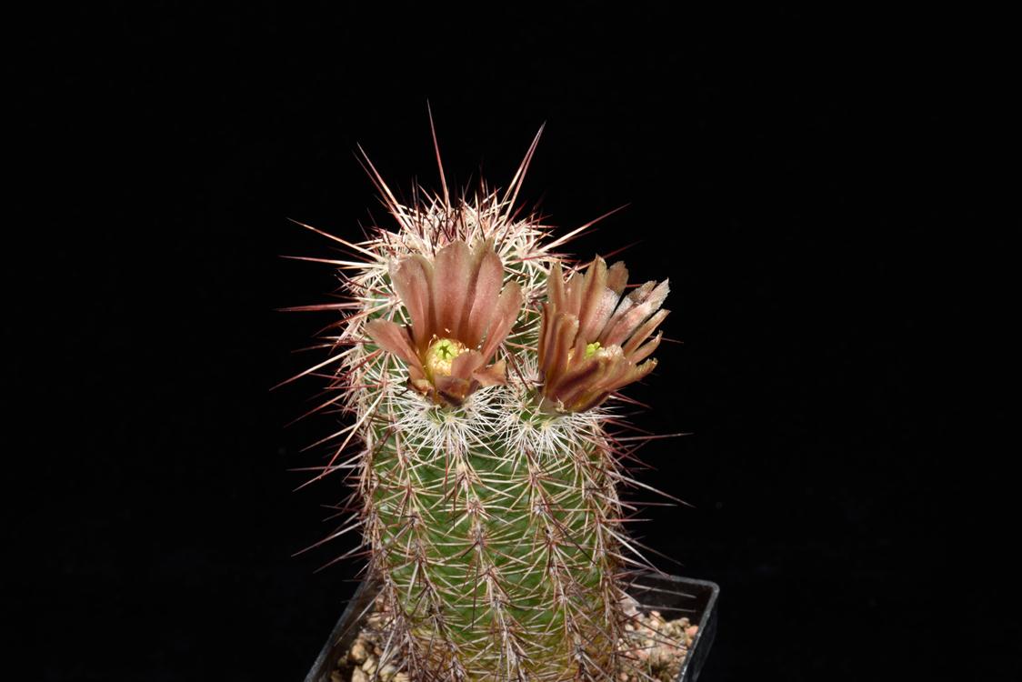 Echinocereus chloranthus x fendleri, Mexico, Chihuahua, El Sueco