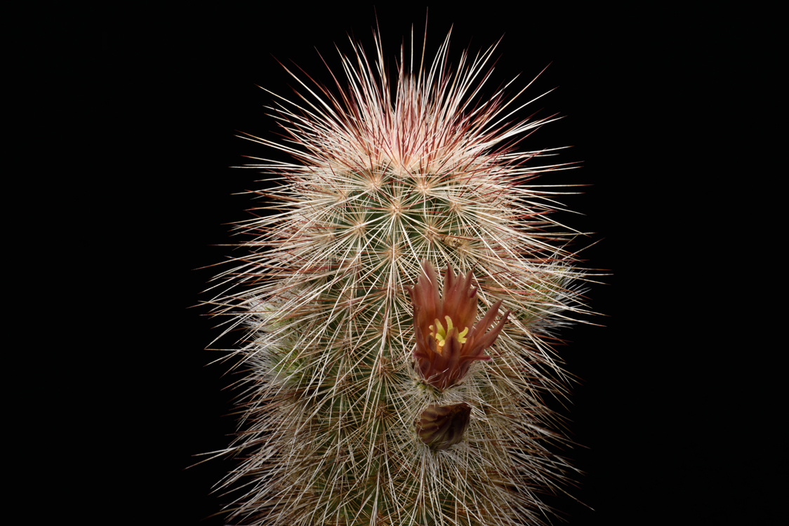 Echinocereus russanthus, USA, Texas, Persimmon Gap