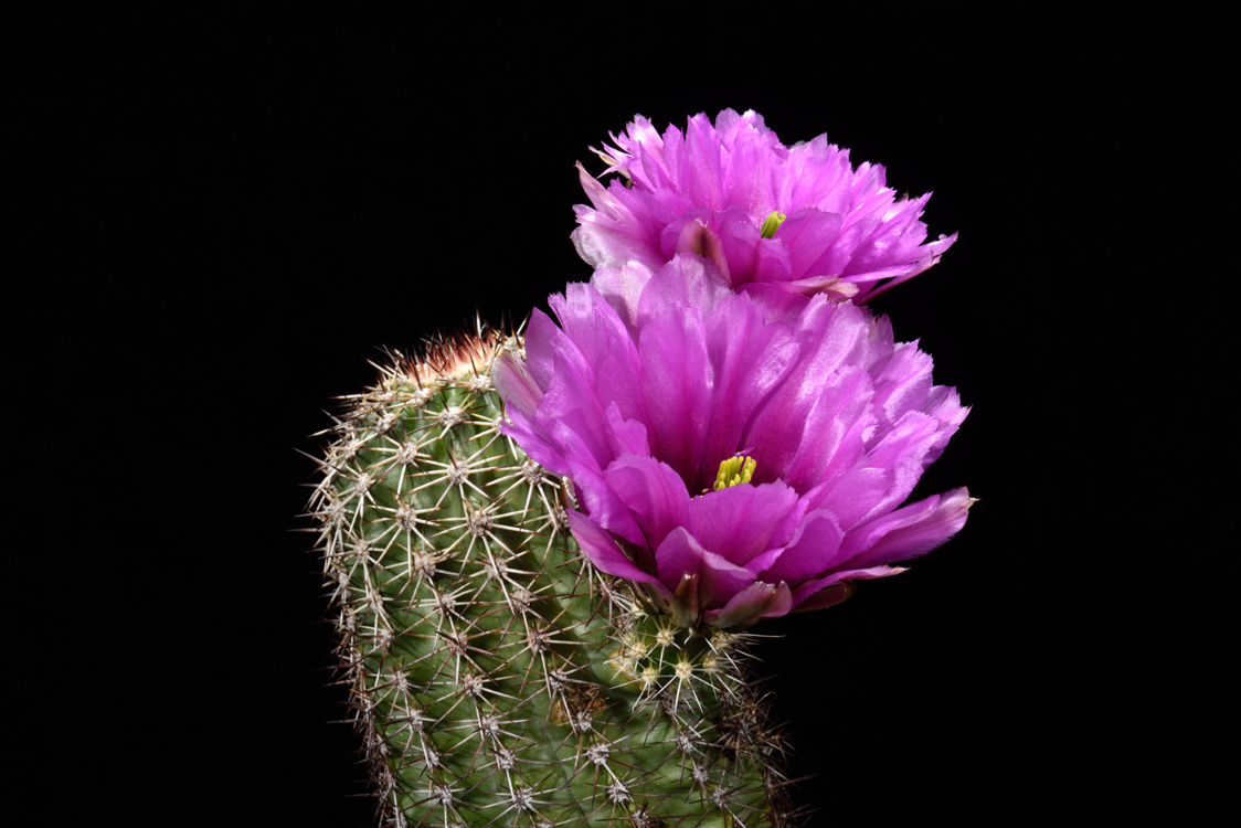 Echinocereus bonkerae, USA, Arizona, Oracle
