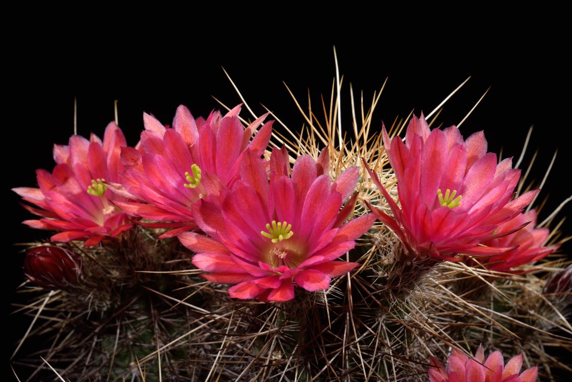 Echinocereus engelmannii x mombergerianus, Mexico, Baja California