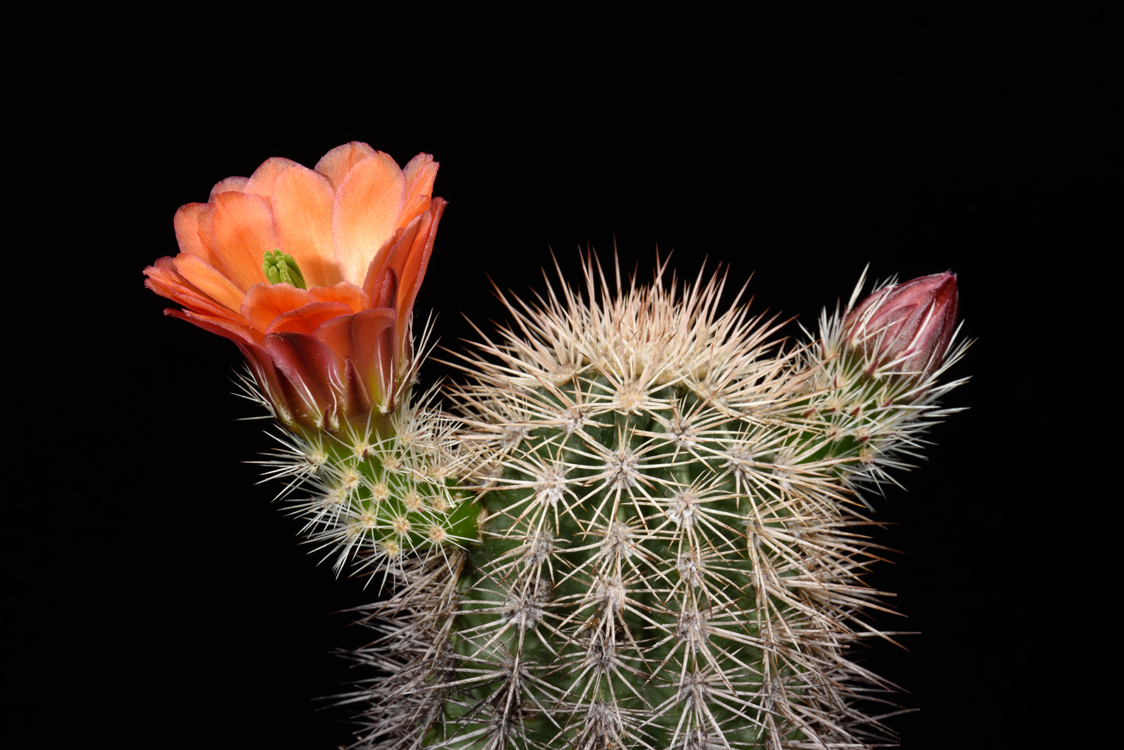 Echinocereus xroetteri, USA, New Mexico, Orogrande