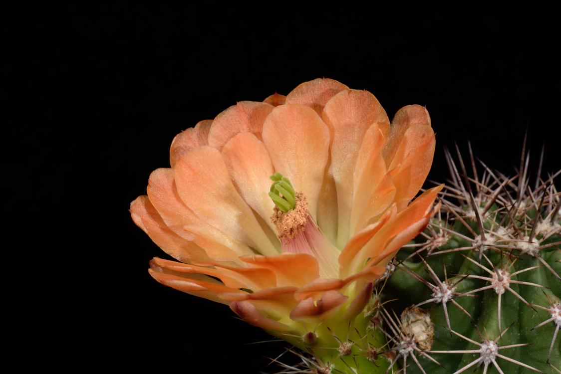 Echinocereus coccineus subsp. roemeri, USA, Texas, Gillespie Co., BW112