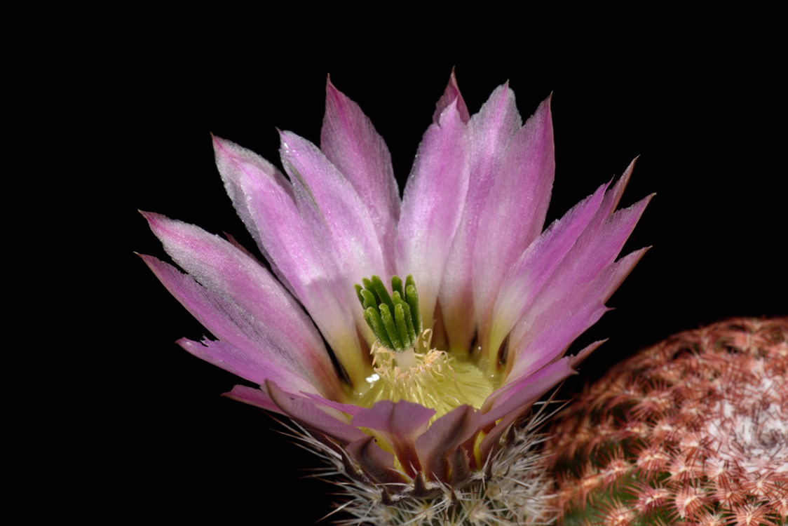 Echinocereus pectinatus, Mexico, Guanajuato, Tierra Blanca