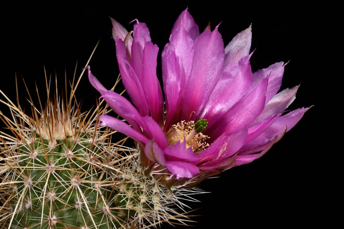 Echinocereus engelmannii, USA, Arizona, Maricopa Co., Wickenburg
