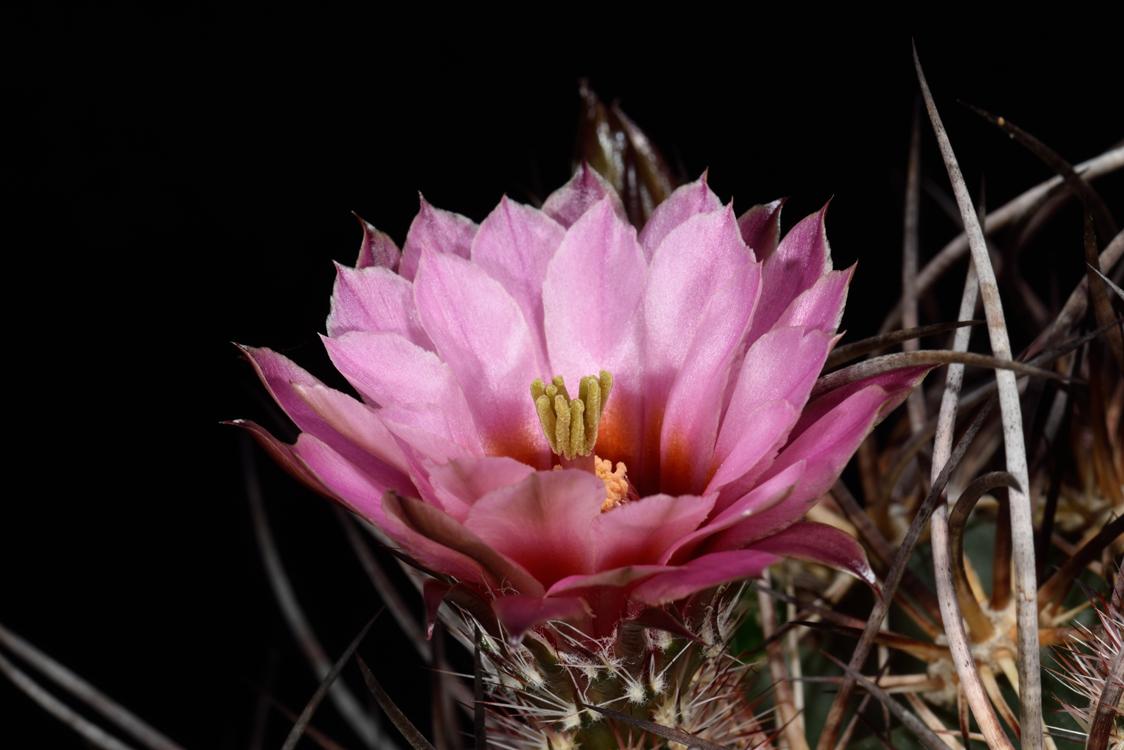 Echinocereus lindsayi, Mexico, Baja California