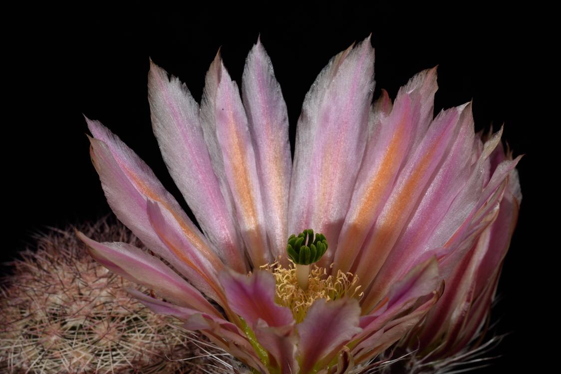 Echinocereus dasyacanthus, Mexico, Chihuahua, El Morrion