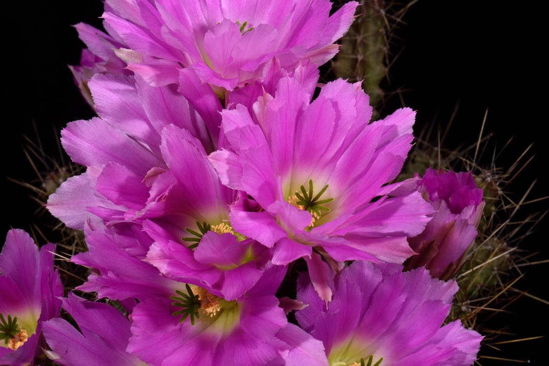 Echinocereus pentalophus subsp. procumbens fa. ritteri