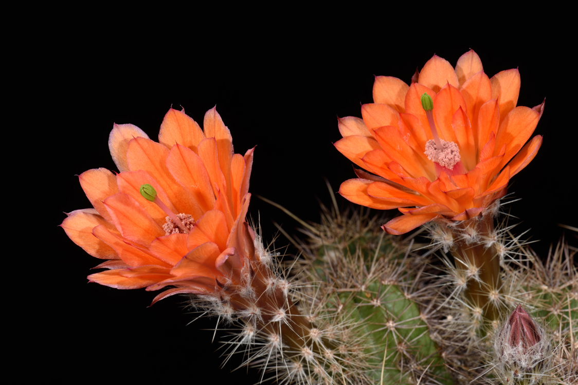 Echinocereus salm-dyckianus, Mexico, Chihuahua, Basaseachic