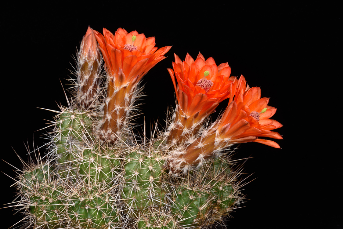 Echinocereus salm-dyckianus, Mexico, Chihuahua, Hueleyvo