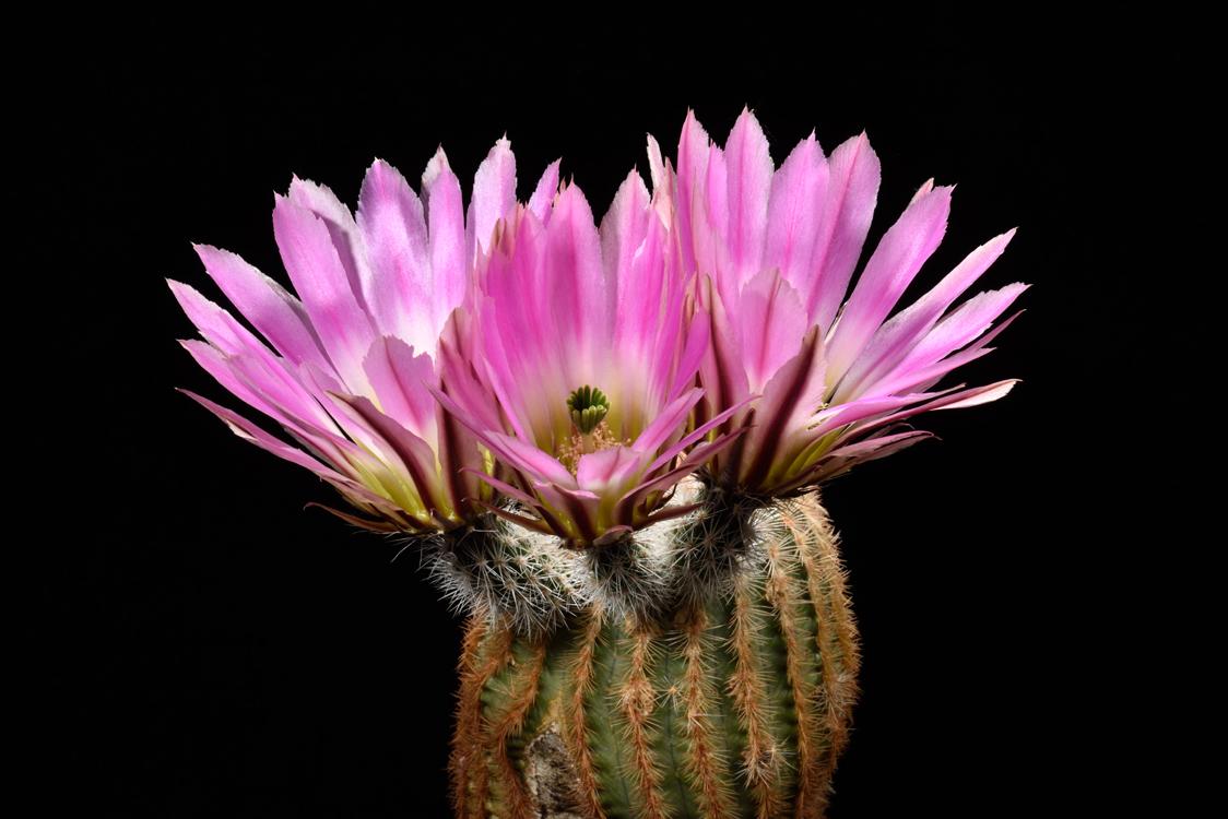Echinocereus pectinatus, Mexico, Nuevo Leon, Saltillo - Monterrey