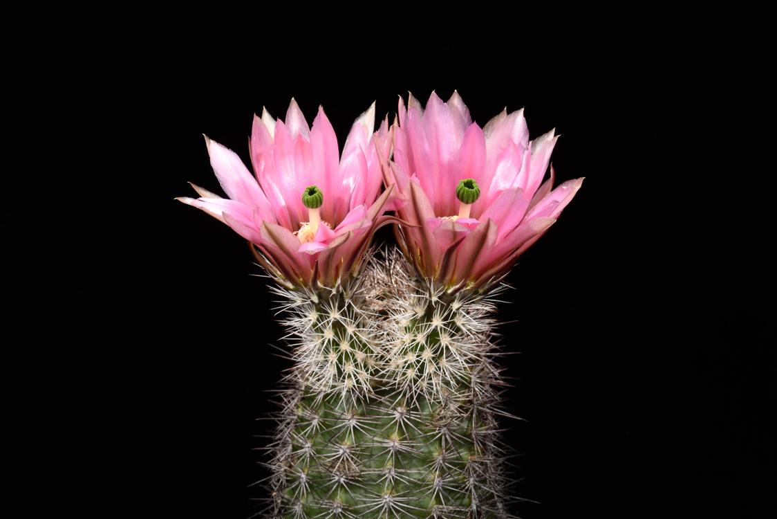 Echinocereus dasyacanthus, Mexico, Chihuahua, El Sancho, Naturhybride