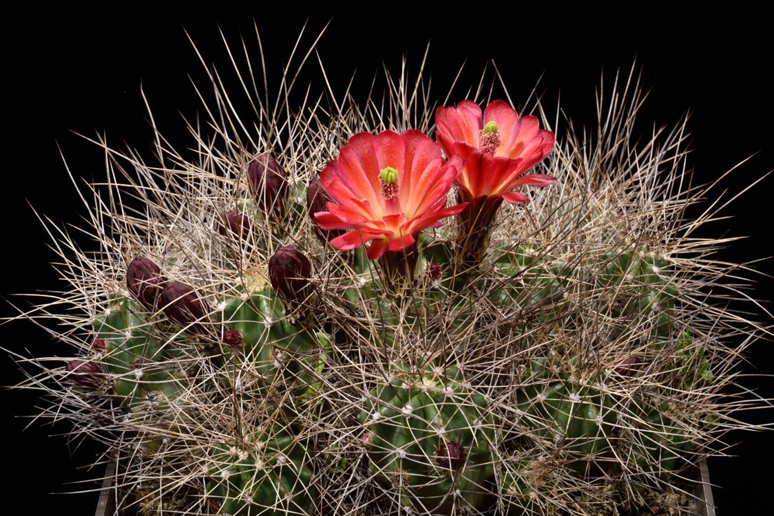Echinocereus mojavensis, USA, Arizona, Flagstaff - Page