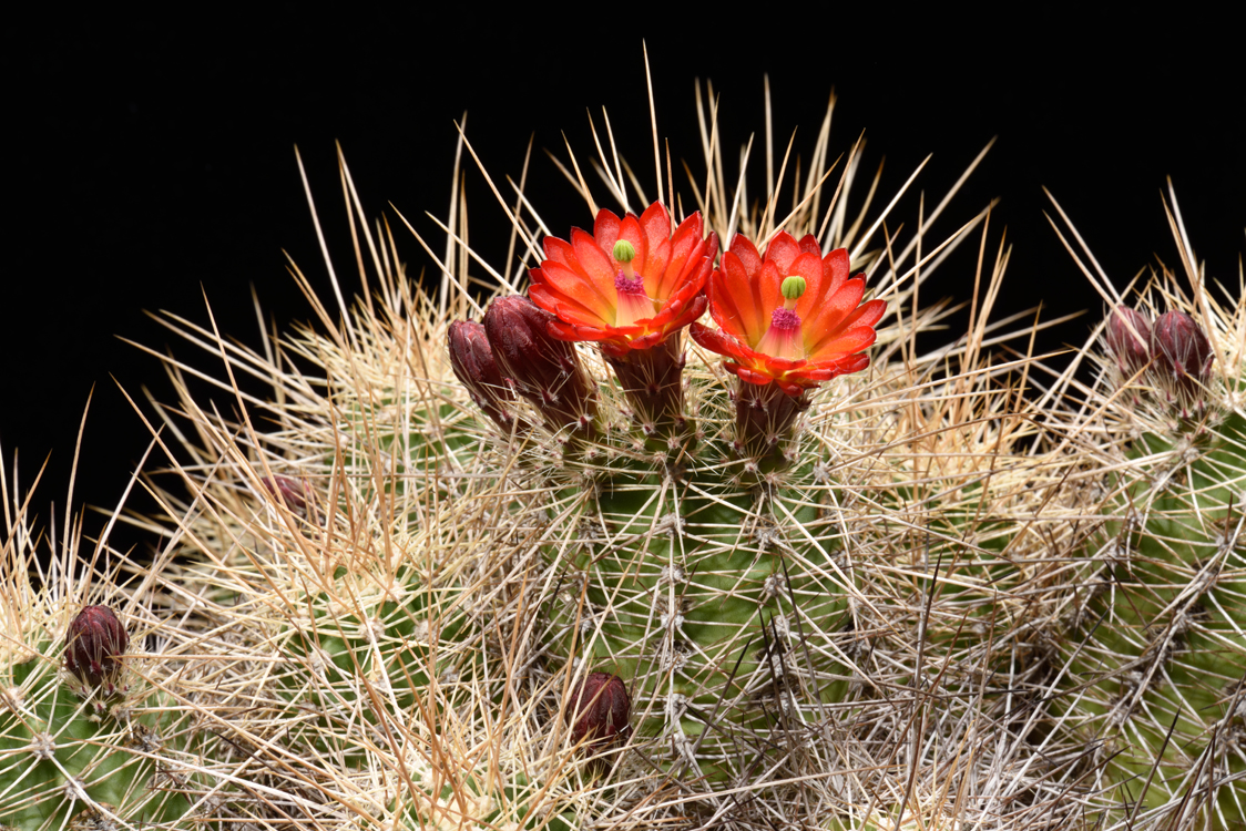 Echinocereus bakeri, USA, Arizona, Kingman - Seligman